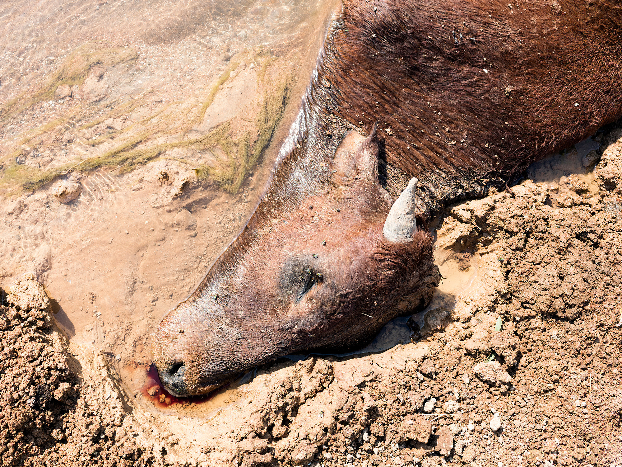 A cow lies dead in a polluted mine stream, Ditwebeleng, Limpopo, Eastern Limb