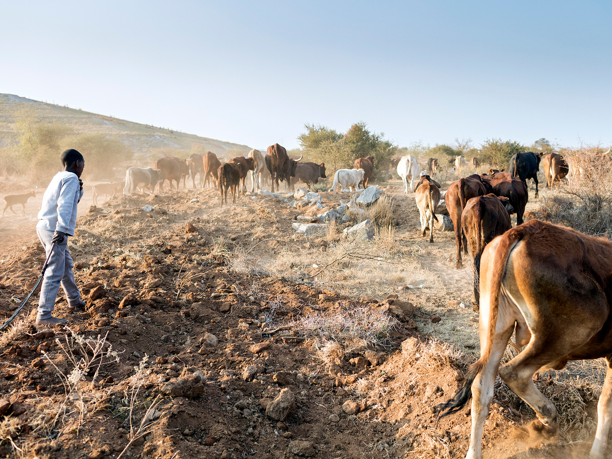 A young boy herds cattle adjacent to RPM Mogalakwena Mine's tailings dam, Ga-Molekane Village, Mapela, Limpopo, Northern Limb